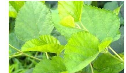 桑叶的药用价值有哪些 桑叶的功效有什么